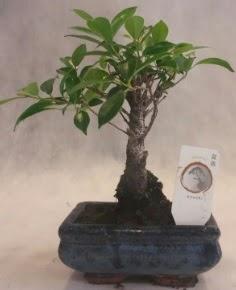 Bonsai ağacı japon ağaç bitkisi  Bursa çiçek yolla nilüfer çiçek gönderme