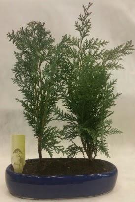 SINIRLI SAYIDA Selvi Ağacı bonsai ikili  Bursa çiçekçi osman gazi çiçek gönderme sitemiz güvenlidir