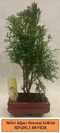 Selvi ağacı bonsai japon ağacı bitkisi  Bursaya çiçek yolla orhangazi çiçek satışı