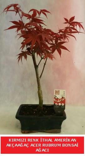 İTHAL ACER RUBRUM BONSAİ AĞACI  çiçek siparişi Bursa karacabey çiçek yolla