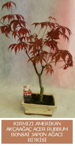 Amerikan akçaağaç Acer Rubrum bonsai  Bursa inegöl çiçek servisi , çiçekçi adresleri