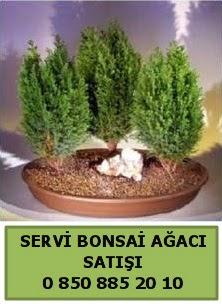 BONSAİ 3 LÜ SERVİ BONSAİ AĞACI  Bursa çiçekçi osman gazi çiçek gönderme sitemiz güvenlidir