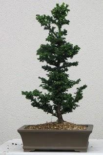 Çam ağacı bonsai bitkisi satışı  Bursa çiçekçi osman gazi çiçek gönderme sitemiz güvenlidir