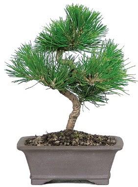 Çam ağacı bonsai japon ağacı bitkisi  Bursa çiçek nilüfer İnternetten çiçek siparişi