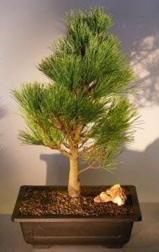 Çam ağacı japon ağacı bitkisi bonsai  Bursa çiçekçi osman gazi çiçek gönderme sitemiz güvenlidir