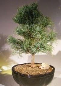 Çam ağacı bonsai bitkisi satışı  online Bursa ucuz çiçek gönder