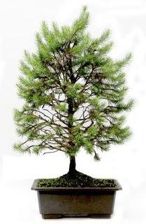 *** STOKTA YOK - Çam ağacı bonsai bitkisi satışı  Bursa çiçek gönderimi nilüfer cicekciler , cicek siparisi