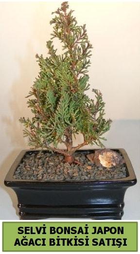 Selvi çam japon ağacı bitkisi bonsai  Bursa çiçekçi osman gazi çiçek gönderme sitemiz güvenlidir