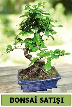 Çam bonsai japon ağacı satışı  Bursaya çiçek yolla orhangazi çiçek satışı