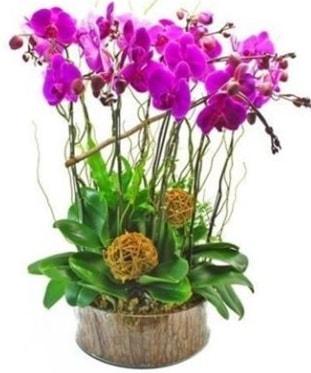 Ahşap kütükte lila mor orkide 8 li  Bursa osmangazi internetten çiçek satışı