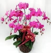 Sepet içerisinde 5 dallı lila orkide  online Bursa ucuz çiçek gönder