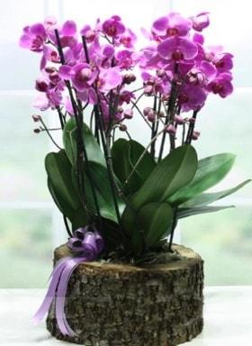 Kütük içerisinde 6 dallı mor orkide  online Bursa ucuz çiçek gönder