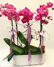 Beyaz seramik içerisinde 4 dallı orkide  online Bursa ucuz çiçek gönder