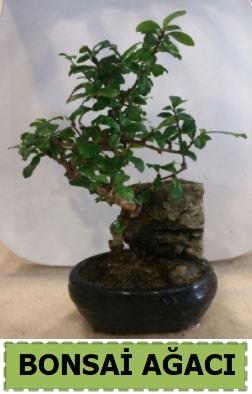 Bonsai ağacı japon ağacı satışı  çiçekçi Bursa nilüfer hediye çiçek yolla
