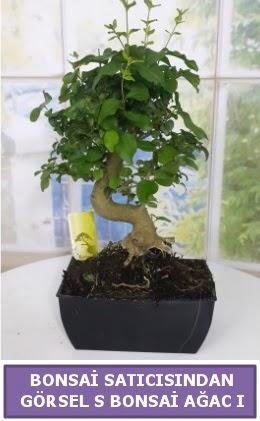 S dal eğriliği bonsai japon ağacı  Bursaya çiçek yolla orhangazi çiçek satışı