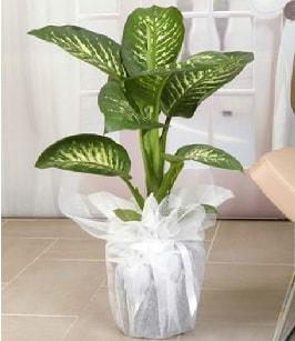 Tropik saksı çiçeği bitkisi  Bursaya çiçek yolla orhangazi çiçek satışı