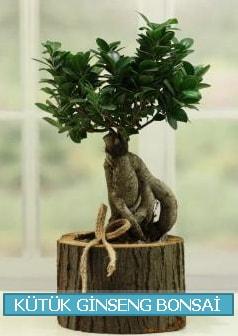 Kütük ağaç içerisinde ginseng bonsai  çiçek siparişi Bursa karacabey çiçek yolla