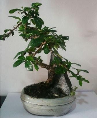 S şeklinde ithal bonsai ağacı  Bursa çiçek yolla nilüfer çiçek gönderme