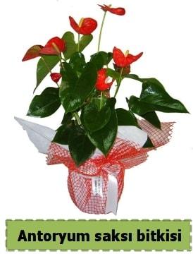 Antoryum saksı bitkisi satışı  Bursada çiçekçi osmangazi çiçek , çiçekçi , çiçekçilik