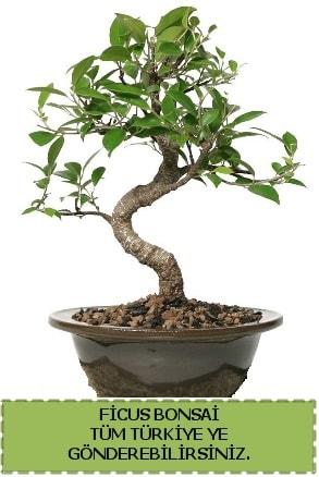 Ficus bonsai  çiçek siparişi Bursa karacabey çiçek yolla