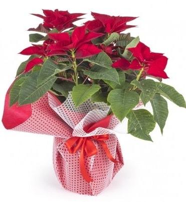 Atatürk çiçeği saksı bitkisi  çiçek siparişi Bursa karacabey çiçek yolla