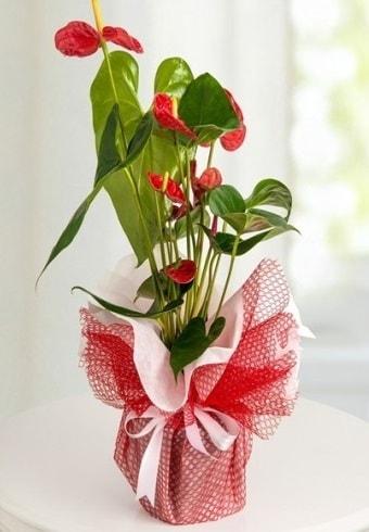 Anthurium Saksı Çiçeği  çiçekçi Bursa nilüfer hediye çiçek yolla