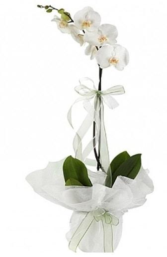 Tekli Beyaz Orkide  çiçekçi Bursa nilüfer hediye çiçek yolla