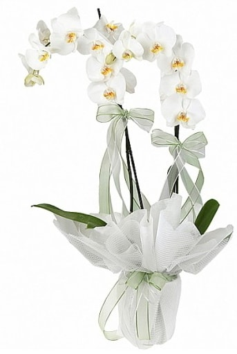 Çift Dallı Beyaz Orkide  Bursa osmangazi online çiçekçi , çiçek siparişi
