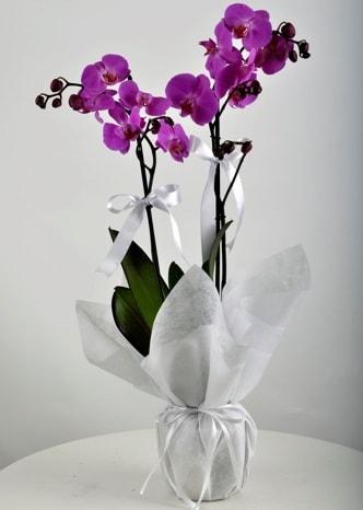 Çift dallı saksıda mor orkide çiçeği  çiçek Bursa yenişehir çiçekçi mağazası