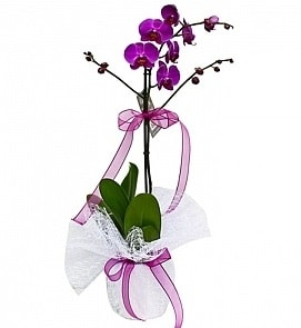 Tek dallı saksıda ithal mor orkide çiçeği  çiçek yolla Bursa orhaneli çiçekçiler