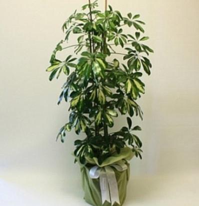Şeflera salon bitkisi  Bursa çiçek nilüfer İnternetten çiçek siparişi