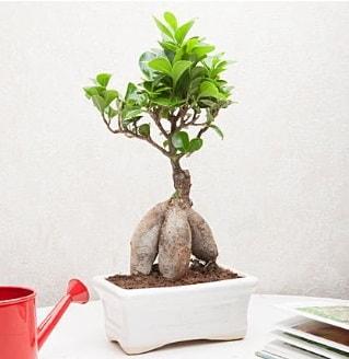 Exotic Ficus Bonsai ginseng  çiçek siparişiBursa mustafa kemal paşa çiçek siparişi sitesi