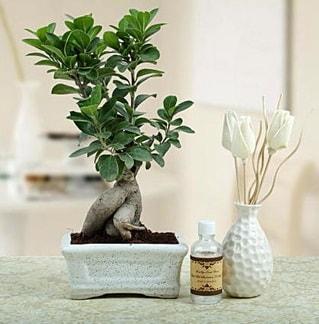 Ginseng ficus bonsai  çiçek yolla Bursa orhaneli çiçekçiler
