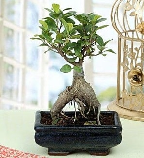 Appealing Ficus Ginseng Bonsai  Bursa osmangazi online çiçekçi , çiçek siparişi