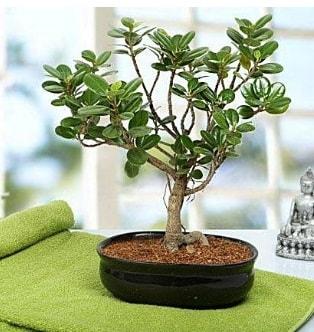 Lovely Ficus Iceland Bonsai  Bursa osmangazi online çiçekçi , çiçek siparişi