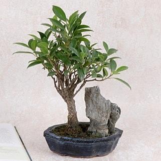 Japon ağacı Evergreen Ficus Bonsai  çiçek siparişi Bursa karacabey çiçek yolla