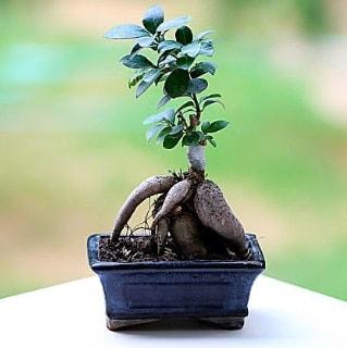 Marvellous Ficus Microcarpa ginseng bonsai  çiçek Bursa yenişehir çiçekçi mağazası