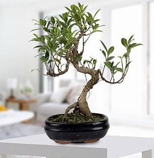 Gorgeous Ficus S shaped japon bonsai  cicekciler Bursa gemlik güvenli kaliteli hızlı çiçek