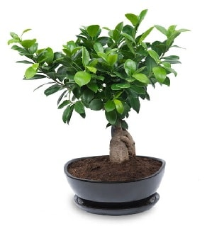 Ginseng bonsai ağacı özel ithal ürün  Bursa osmangazi internetten çiçek satışı