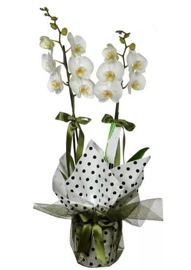 Çift Dallı Beyaz Orkide  Bursa çiçek siparişi karacabey 14 şubat sevgililer günü çiçek