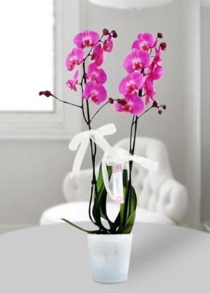 Çift dallı mor orkide  çiçek yolla Bursa orhaneli çiçekçiler