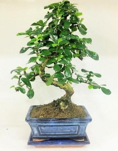 S Bonsai japon ağacı bitkisi  Bursa inegöl çiçek servisi , çiçekçi adresleri