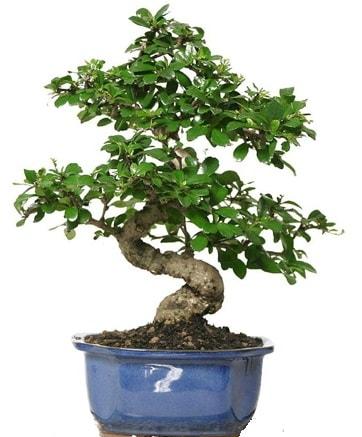 21 ile 25 cm arası özel S bonsai japon ağacı  Bursa çiçekçi osman gazi çiçek gönderme sitemiz güvenlidir