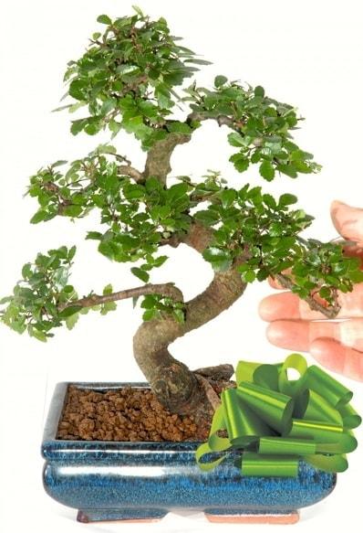 Yaklaşık 25 cm boyutlarında S bonsai  Bursa çiçek gönder nilüfer çiçek siparişi vermek