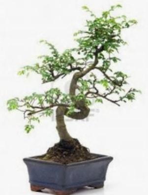 S gövde bonsai minyatür ağaç japon ağacı  Bursaya çiçek yolla orhangazi çiçek satışı