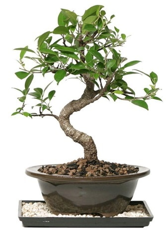 Altın kalite Ficus S bonsai  Bursa çiçekçi osman gazi çiçek gönderme sitemiz güvenlidir  Süper Kalite