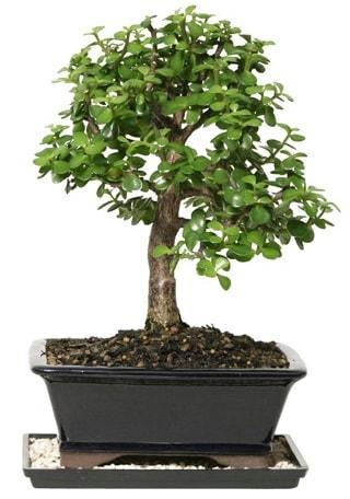 15 cm civarı Zerkova bonsai bitkisi  Bursa çiçek gönder nilüfer çiçek siparişi vermek