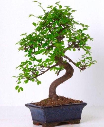 S gövdeli bonsai minyatür ağaç japon ağacı  çiçek siparişi Bursa karacabey çiçek yolla