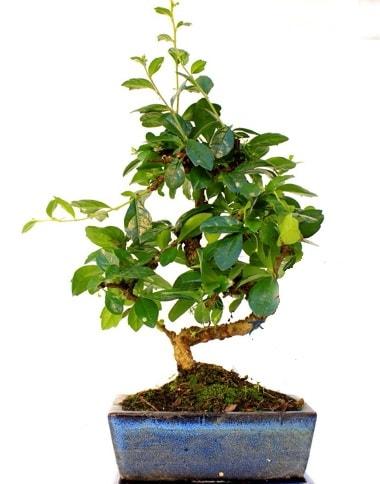 S gövdeli carmina bonsai ağacı  Bursa çiçek yolla nilüfer çiçek gönderme  Minyatür ağaç
