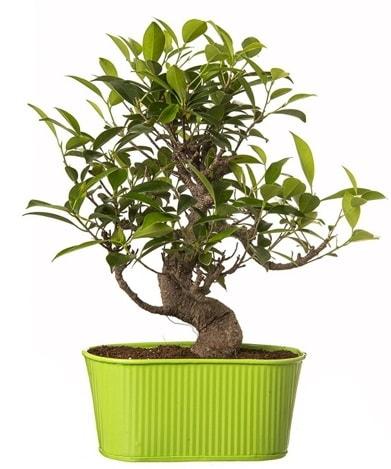 Ficus S gövdeli muhteşem bonsai  Bursa çiçek gönder nilüfer çiçek siparişi vermek